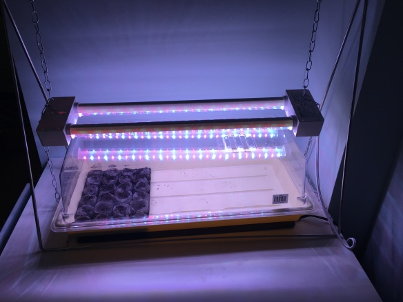 A plastic tray with a cover and lights hung above it. Several rehydrated discs of peat are sitting in the tray.